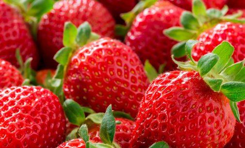 Frigo-Erdbeerpflanzen