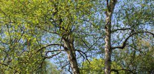 Birke, Kiefer, Pappel – heilsame Bäume