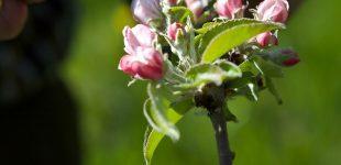 Mit der Obstblüte beginnt das Fruchtsaft-Jahr 2018