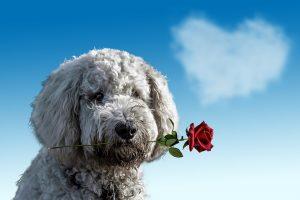 Bello hat den Valentinstag nicht vergessen....