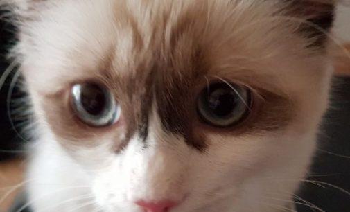 Ragdoll – die Katze für alle Fälle