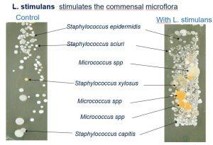 Vergleich der Bakterienvielfalt mit und ohne den Wirkstoff stimulans