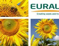 Sonnenblumen als Bienenweide