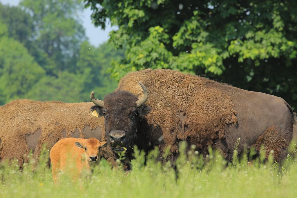 """""""Der Wisent (Europäischer Bison) im Bialowieski Nationalpark"""""""
