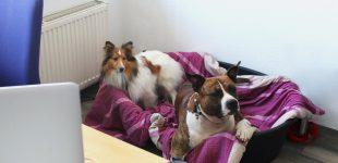 Hunde im Büro: Versicherungsschutz prüfen