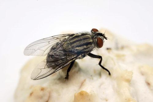 Fliegen: Sie sind nicht nur lästig, sondern auch unhygienisch und eine Gefahr für die Gesundheit.