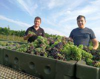 Erste Weinlese 2018 im Kremstal – Verjus – Agrest – grüner Saft