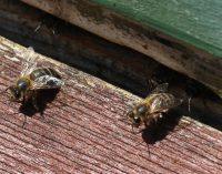 ÖDP NRW startet Petition: Rettet die dunkle Biene