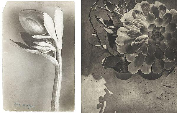 links: Karl Blossfeldt: Nieswurz, Christrose. o.J.; rechts: Jim Dine: Entrada Drive, 2001-2003