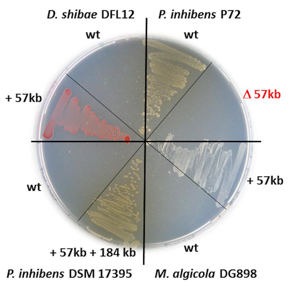 Petrischale mit roten, weißen und braunen Meeresbakterien aus der Roseobacter-Gruppe - DSMZ